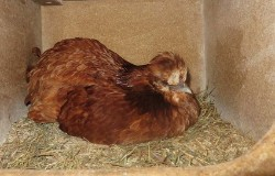 hühner hinten dicker bauch